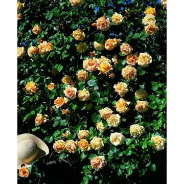 Rosa MICHKA ® Gpt Meivaleir