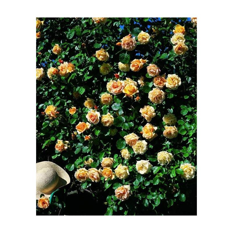 Rose MICHKA ® Gpt Meivaleir