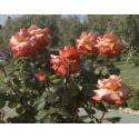 Rosa CHRISTOPHE COLOMB Gpt ® Meironssesar