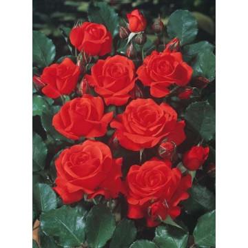 Rose TCHIN TCHIN ® Meichanso