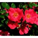Rose DOUCEUR NORMANDE ® Meipopul