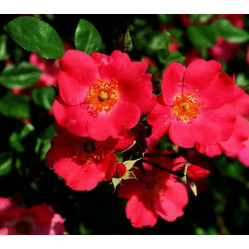 Rosa DOUCEUR NORMANDE ®...