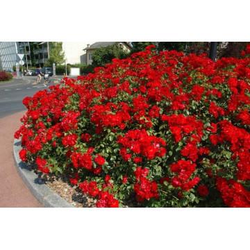 Rose LA SEVILLANA ® Meigekanu