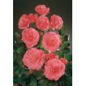 Rose LES AMOUREUX DE PEYNET ® Meitobla