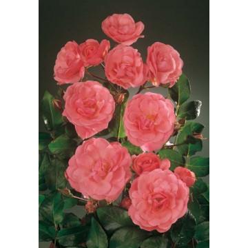 Rose LES AMOUREUX DE PEYNET...