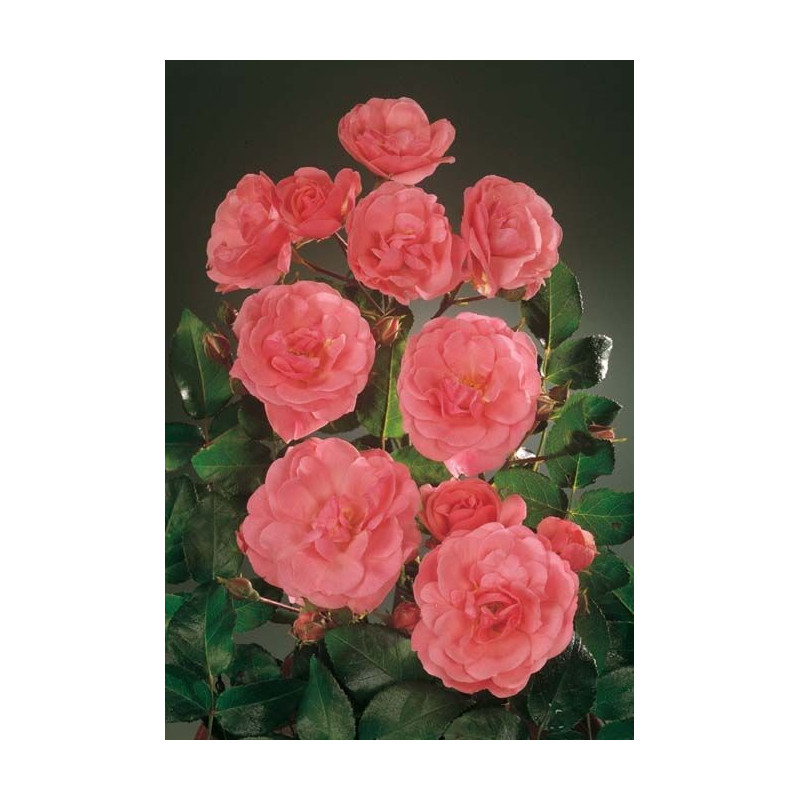 Rose AMOUREUX DE PEYNET ® Meitobla