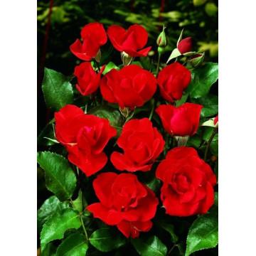 Rose MATTHIAS MEILLAND ®...