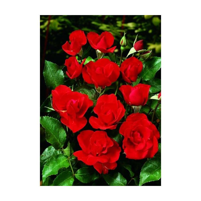Rose MATTHIAS MEILLAND ® Meifolio