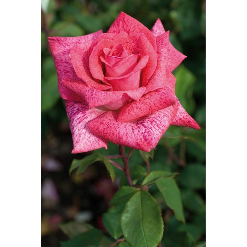 Rose PIERRE CARDIN ® Meilolipo