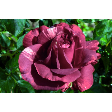 Rosa BROWNIE ® Simstripe