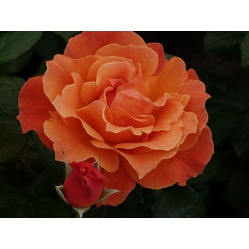 Rose STIEL 100 cm FELLOWSHIP ® Harwelcome