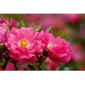 Rose STIEL 100 cm EMERA ® Noatraum