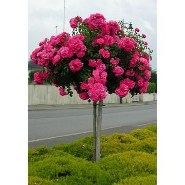 TALLO de rosal de 100 cm de EMERA ® Noatraum
