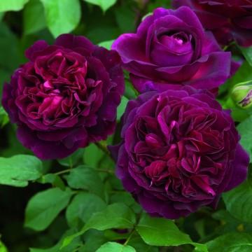 TALLO de rosal 100 cm MUNSTEAD WOOD ® Ausbernard