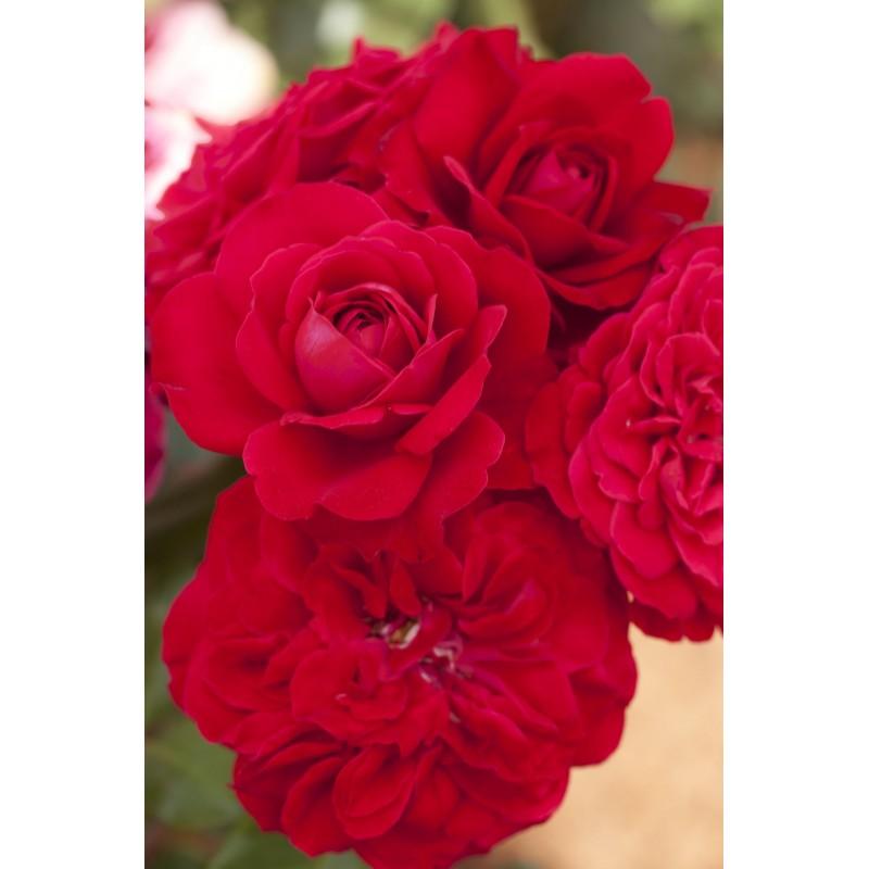 Small ROD 70/80 cm / MONA LISA ® Meilyxir (MEILLAND)