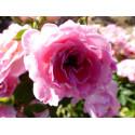 Rosa BELLE SYMPHONIE ® Meirivoui