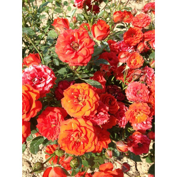 Rose ORANGE SYMPHONIE ® Meininrut