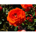 Roseto ORANGE SYMPHONY Meininrut
