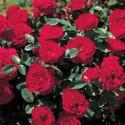 Rose TILT SYMPHONIE ® Meivraivou