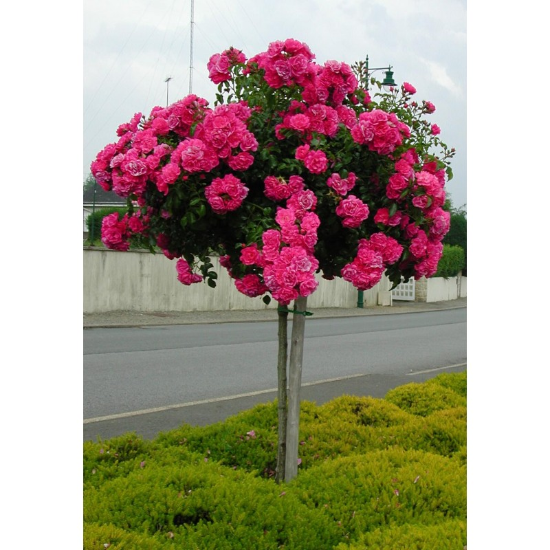 STAMINALI di rosa 100-120 cm EMERA Noatraum