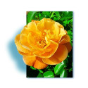 TALLO de rosal 100 cm CALIZIA ® Noa97400A