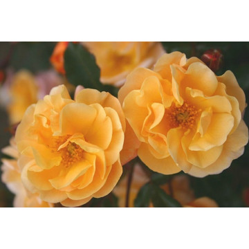 Rose STIEL 100 cm CALIZIA ® Noa97400A