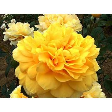 Rose GOLD GLOW