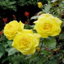 Rose FRIESIA