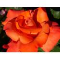 Rose CHRISTOPHERCOLUMB Gpt ® Meironssesar