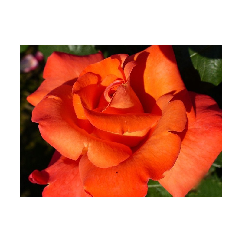 Rosa CHRISTOPHE COLOMB ® Meironsse