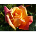 Rose SUTTERS GOLD