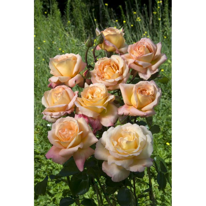 Rosa ACAPULCO ® Reulife