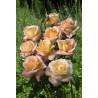 Rose ACAPULCO ® Reulife