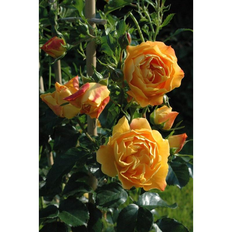 Rose XCELLENCE DE FRONTIGNAN® Tan10553