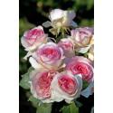 Rosier BOREALE ® Tan03025