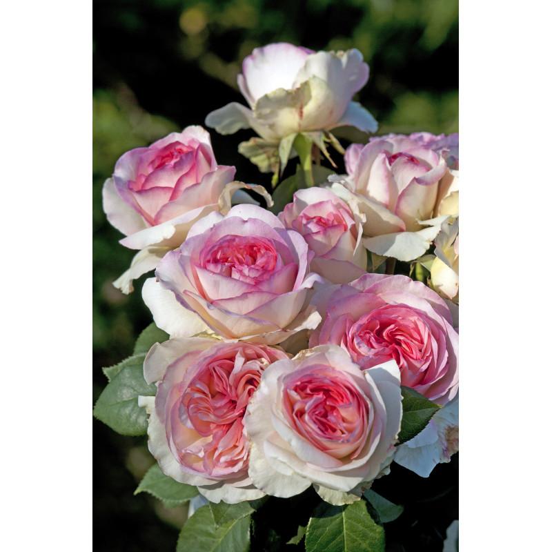 Roseto BOREALE ® Tan03025