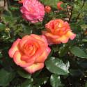 Rose ROBERTO ALAGNA ® Adarequatro