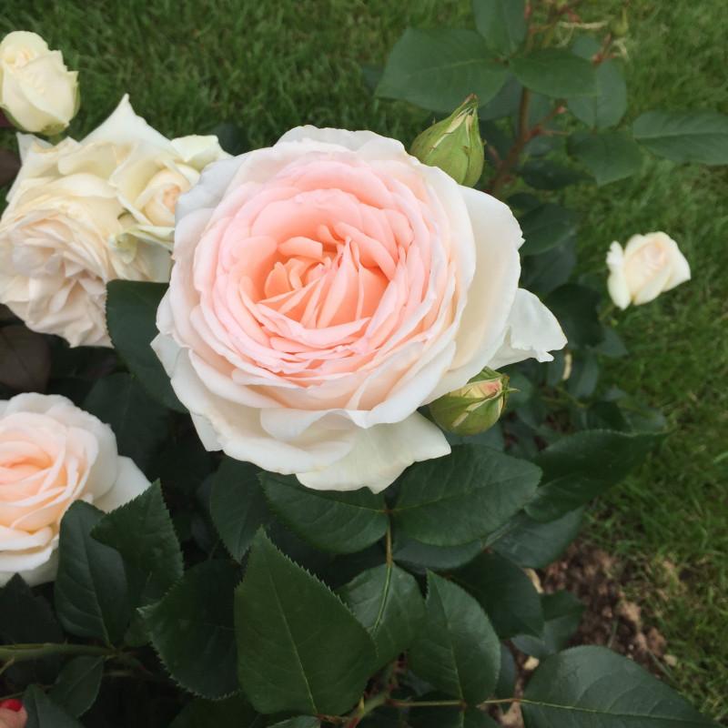 Rosa GRUAUD LAROSE ® Adasimagruaud