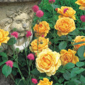 Rosa GOLDEN CELEBRATION ® Ausgold