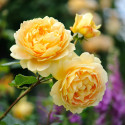 Rosier GOLDEN CELEBRATION ® Ausgold