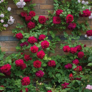 Rosa TESS DE THE D'URBEVILLES ® Ausmove