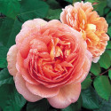 Rosa ABRAHAM DARBY ® Auscot