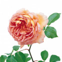 Rose ABRAHAM DARBY ® Auscot