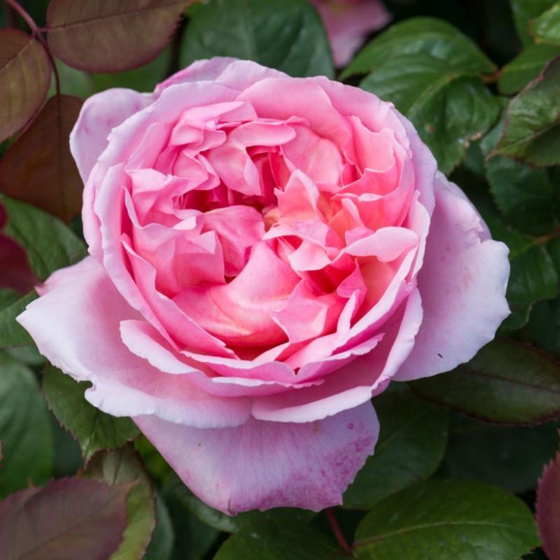 Rosa HERMANO CADFAEL ® Ausglobe