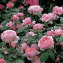 Rose BROTHER CADFAEL ® Ausglobe