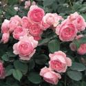 Rose GEOFF HAMILTON ® Ausham
