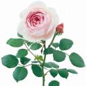 Rosa GEOFF HAMILTON ® Ausham