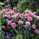 Rosa GERTRUDE JEKYLL ® Ausboard