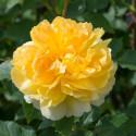 Roseto MOLINEUX Ausgold