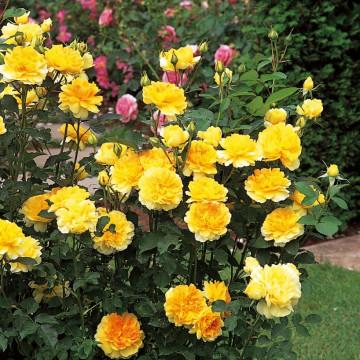 Rose MOLINEUX ® Ausgold
